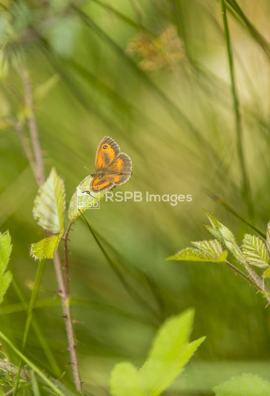 Gatekeeper Pyronia tithonus, adult male butterfly basking on a leaf,  Speec ...