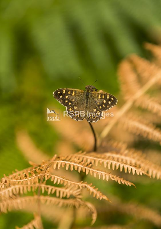 Speckled wood Parage aegeria, adult butterfly basking on fern twig, Speech  ...