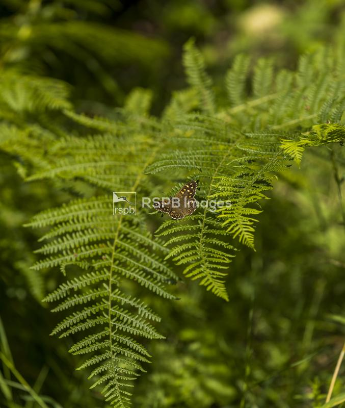 Speckled wood Parage aegeria, adult butterfly basking on fern leaves, Speec ...