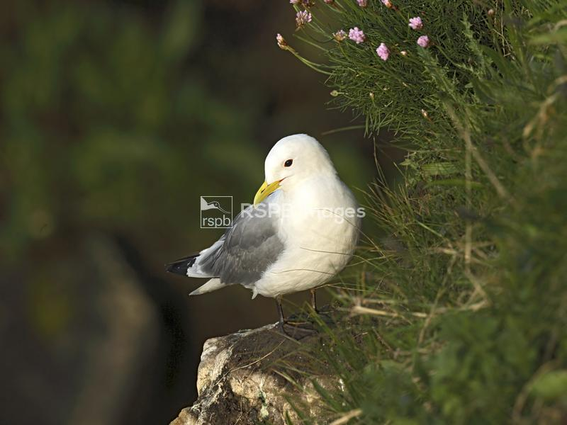 Kittiwake Rissa tridactyla, adult standing on cliff ledge, Bempton Cliffs R ...