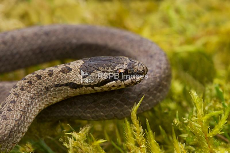 Smooth snake Coronella austriaca, adult resting on moss, Dorset, May ...