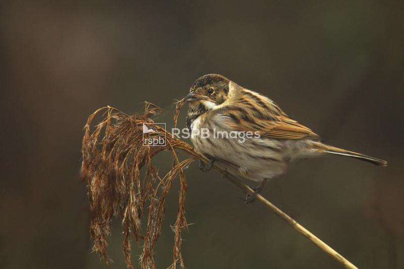 Reed bunting Emberiza schoeniclus, adult male in winter plumage feeding, En ...