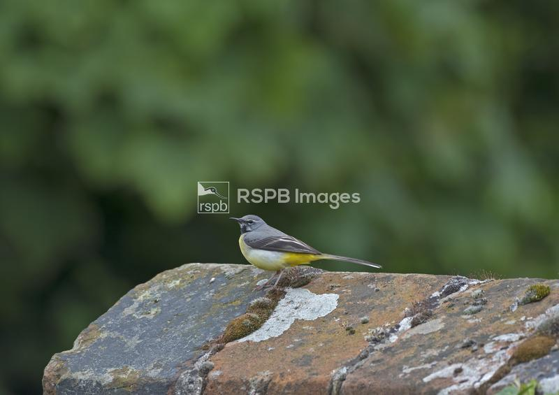 Grey wagtail Motacilla cinerea, male on old bridge, Norfolk UK, June ...