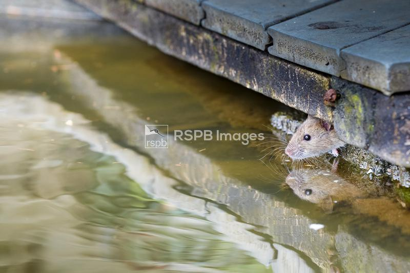 Brown rat Rattus norvegicus, emerges from under a boardwalk, Swanpool, Corn ...