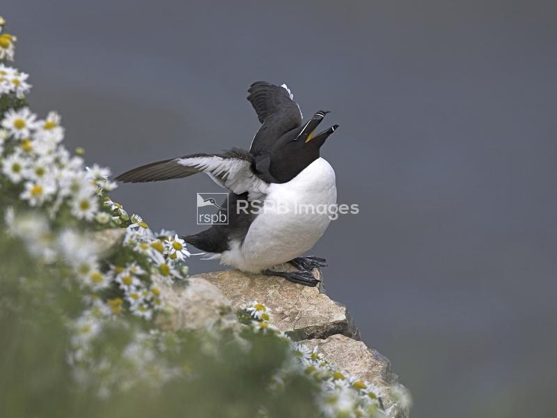 Razorbill Alca torda, summer plumage bird perched on ledge, stretching it's ...