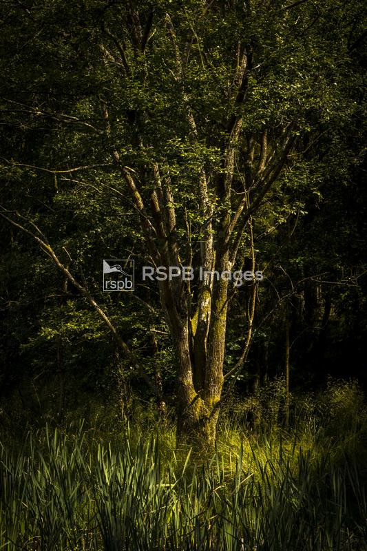 Tree and Reedmace in unusual light and shadow, Forest of Dean, Gloucestersh ...