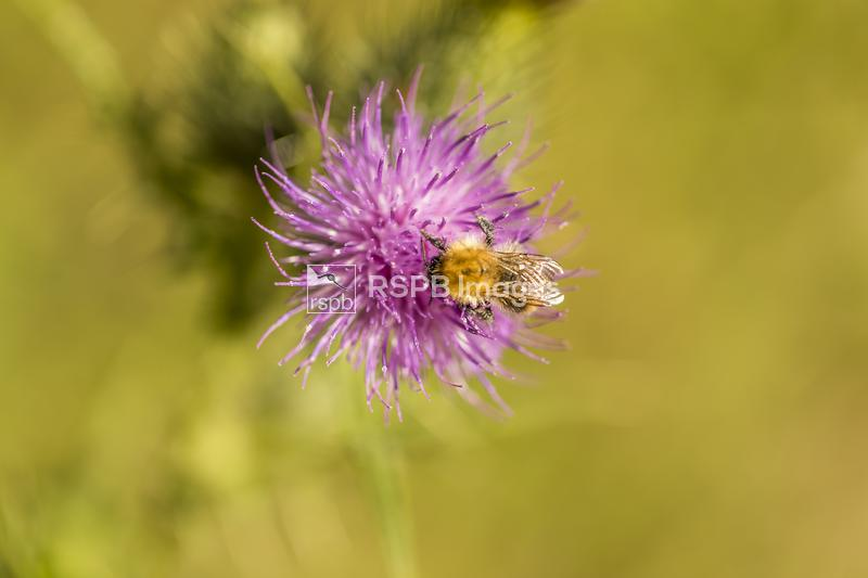 Carder bee Bombus pascuorum, adult feeding on a thistle, Forest of Dean, Gl ...