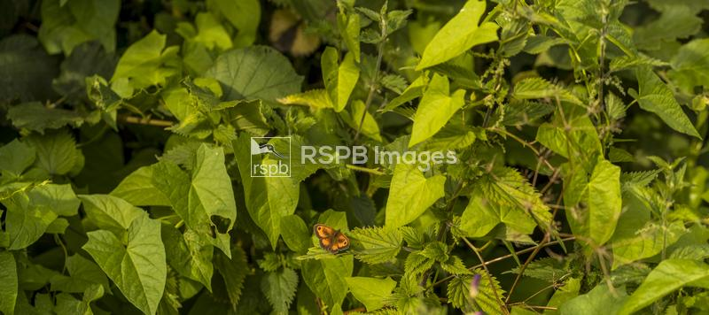 Gatekeeper Pyronia tithonus, adult male butterfly resting on a leaf, Forest ...