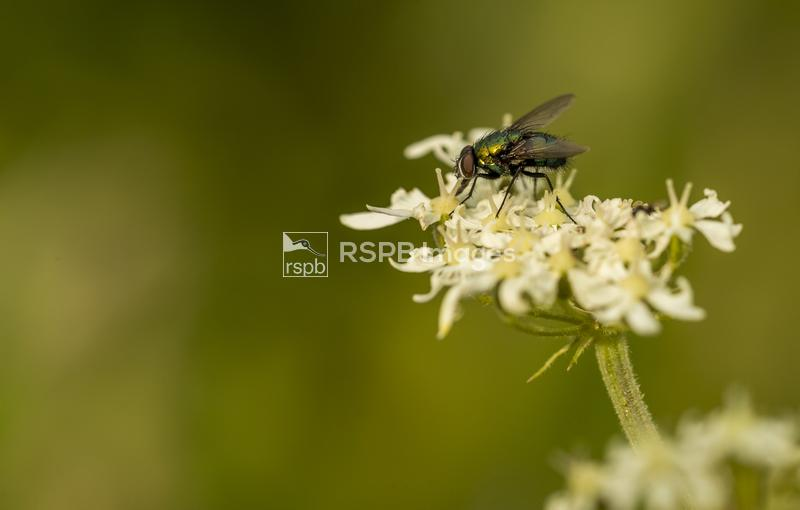 Fliy sp., adult on flowers, Forest of Dean, Gloucestershire, July ...