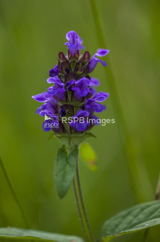 Common bugle Ajuga reptans, plant flowering in a wildflower garden, Rose Co ...