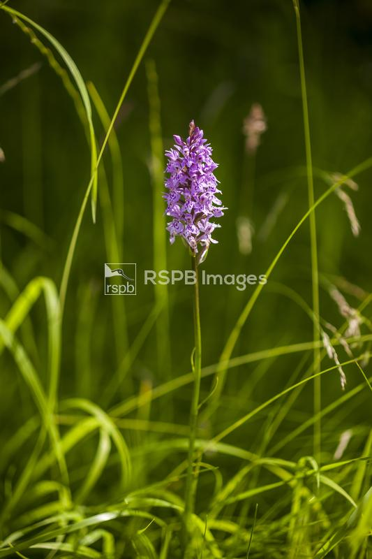 Common spotted orchid Dactylorhiza fuchsii, plant flowering in a wildflower ...