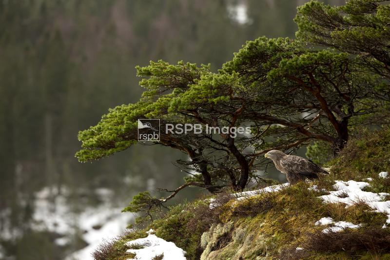 White-tailed eagle Haliaeetus albicilla, resting on a cliff top, Norway, Ja ...