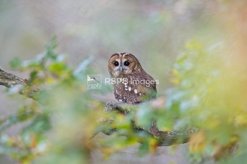 Tawny owl Strix aluco, perching on branch in woodland, Oxfordshire, October ...