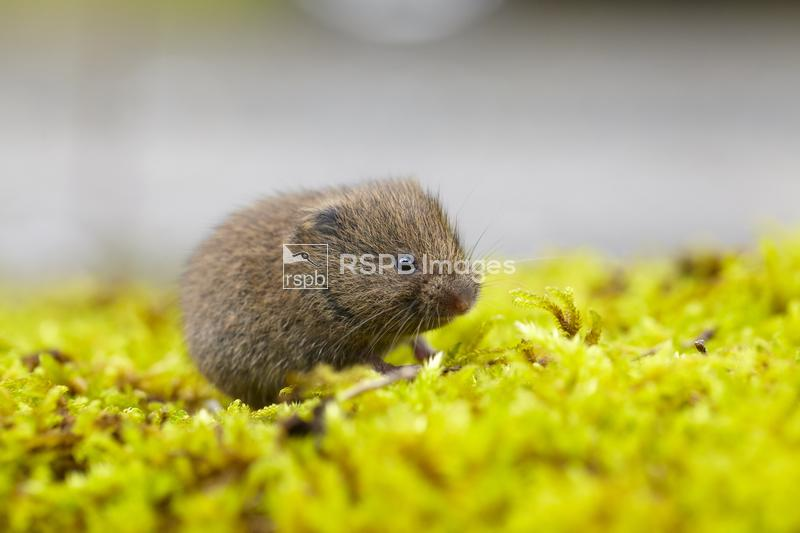 Field vole Microtus agrestis, juvenile sitting on moss, Carmarthenshire, Wa ...