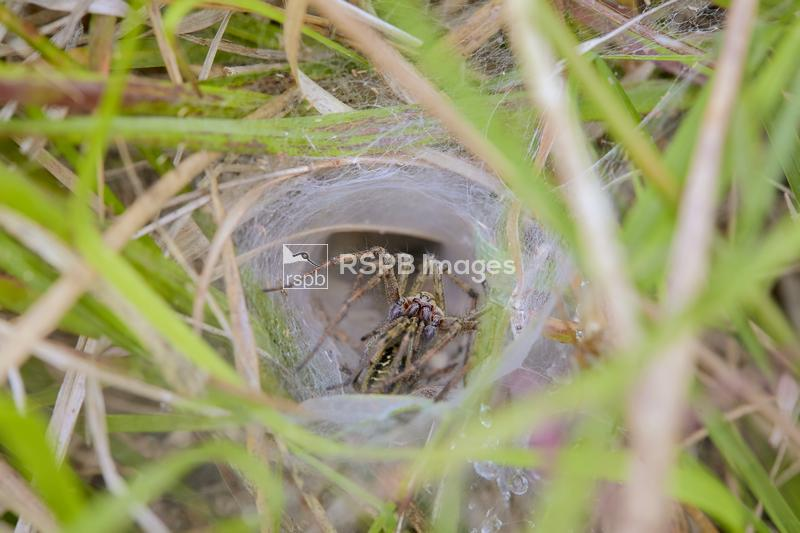 Labyrynth spider (Funnel-web spider) Agelena labyrinthica, adult male and f ...