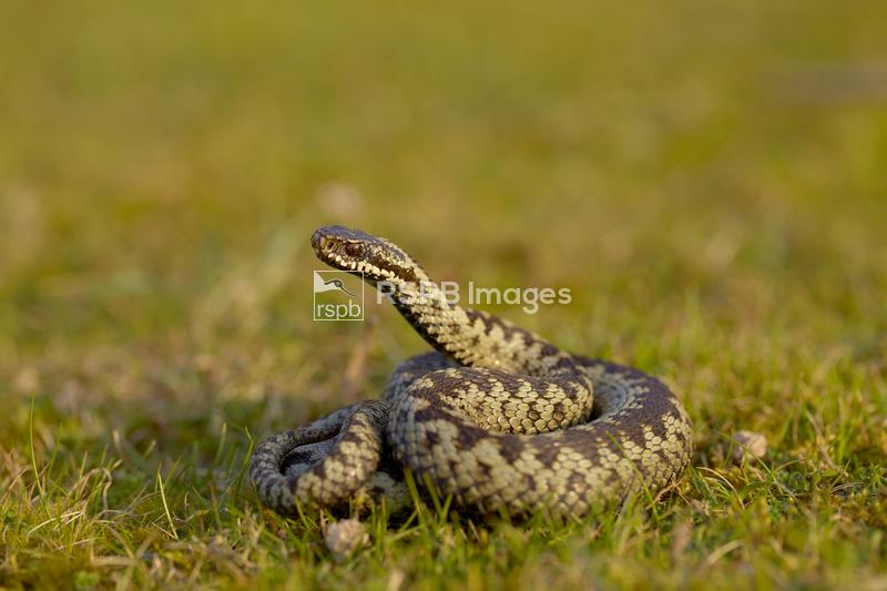 Adder Vipera berus, adult coiled in a defensive posture, Gwithian Towans, C ...