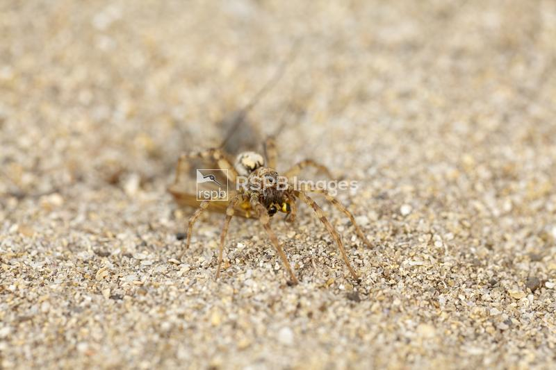Dune Wolf Spider Xerolycosa miniata, individual with prey item, Cornwall, A ...
