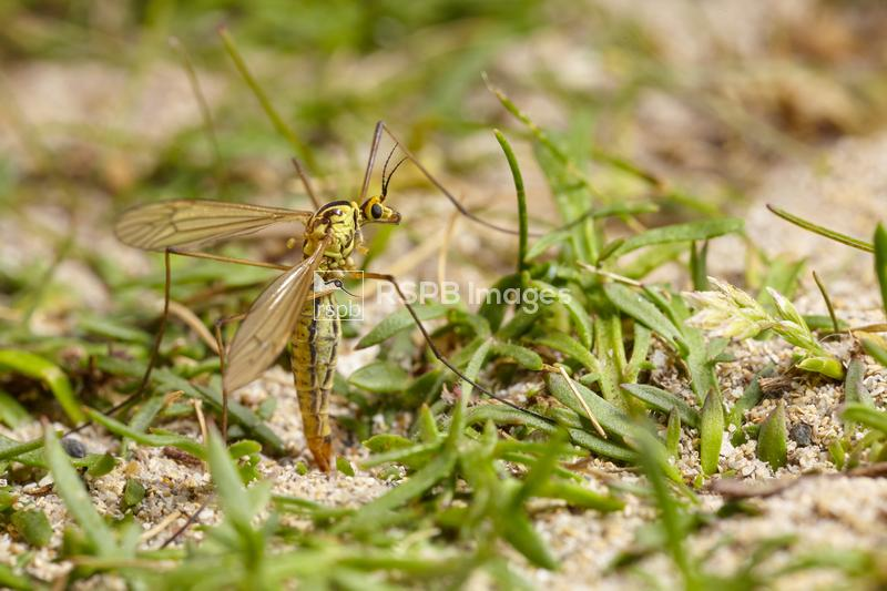 Tiger cranefly Nephrotoma flavescens, adult female laying eggs in sand, Cor ...
