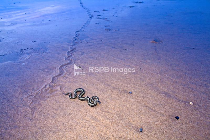 Adder Vipera berus, adult and it's trail on the beach, Cornwall, April ...