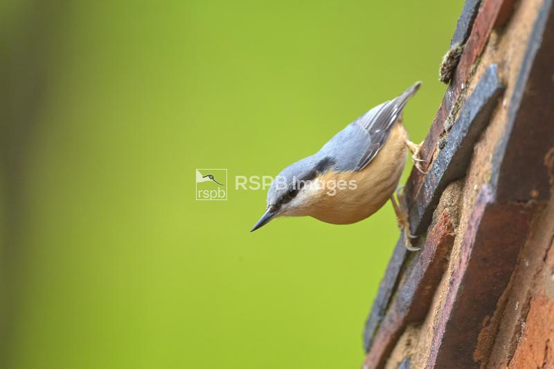 Nuthatch Sitta europaea, adult perched on the side of a roof, Barnet Green, ...