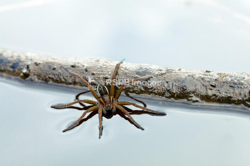 Bog Raft spider Dolomedes fimbriatus, adult on the surface of a pond, RSPB  ...