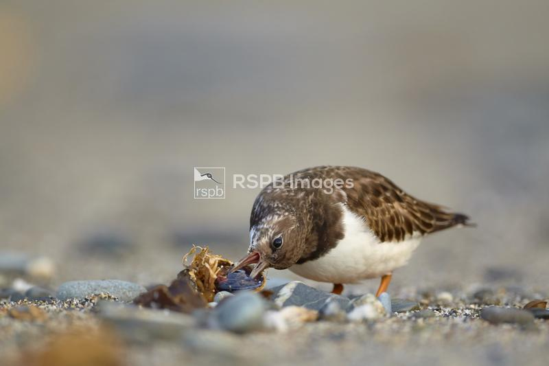 Turnstone Arenaria interpres, adult foraging for food on a beach, Godrevy,  ...