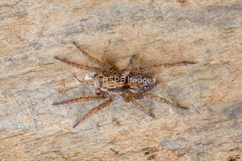 Wolf spider pardosa sp, adult on wooden board, Worcestershire, September ...