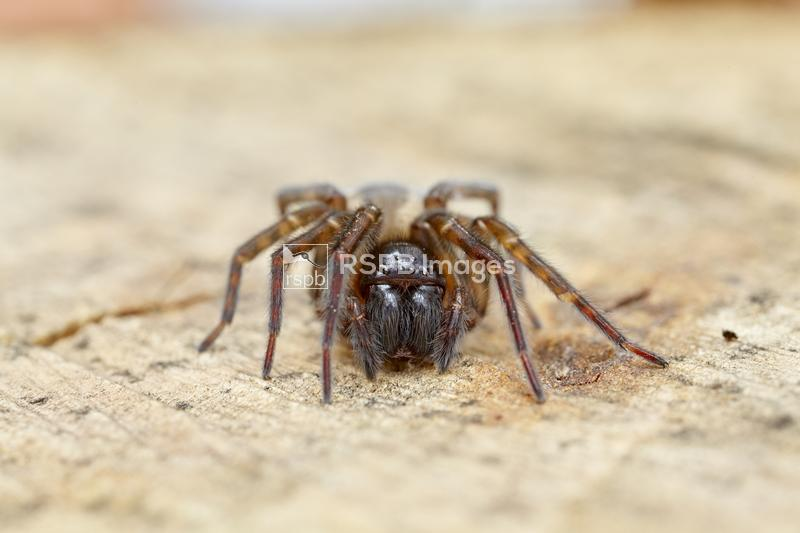Snake-back Spider Segestria senoculata, adult female, Worcestershire, Septe ...