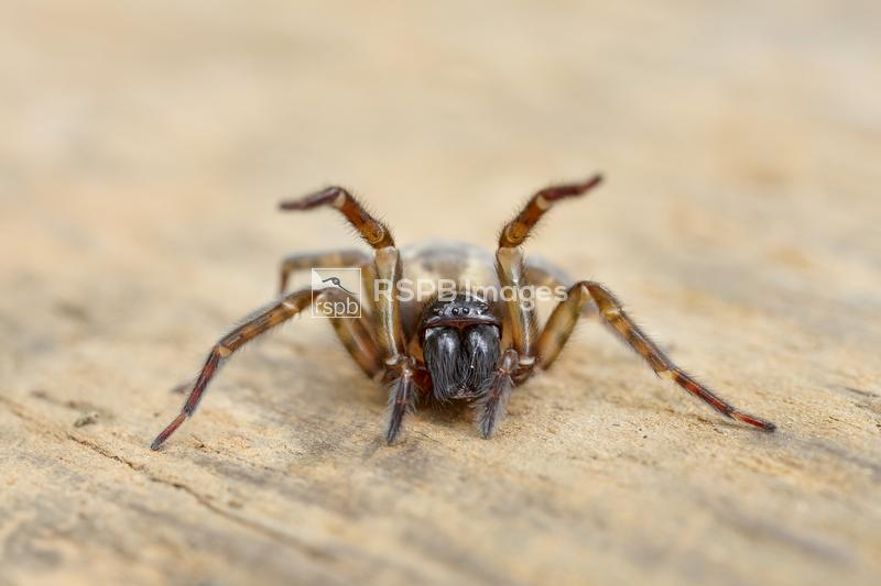 Snake-back spider Segestria senoculata, adult female with raised front legs ...