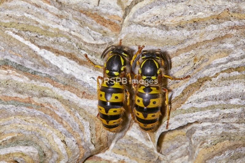 Common wasps Vespula vulgaris, adult pair resting on the side of their nest ...