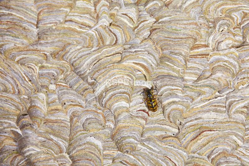 Common wasps Vespula vulgaris, adult resting on the side of it's nest, Barn ...