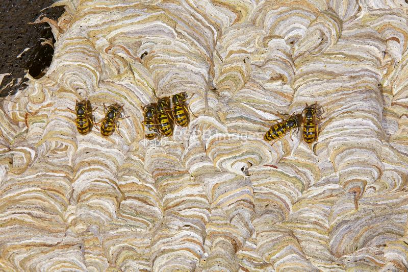 Common wasps Vespula vulgaris, adults resting on the side of their nest, Ba ...