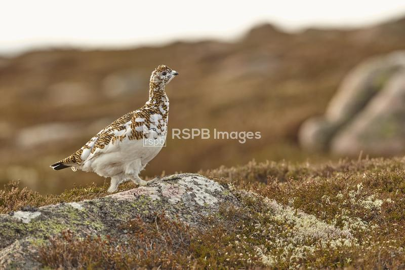 Ptarmigan Lagopus mutus, adult female on a rock, Cairngorms National Park,  ...