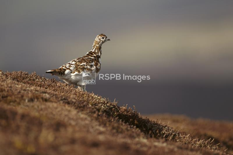 Ptarmigan Lagopus mutus, adult female standing on a hill side, Cairngorms N ...