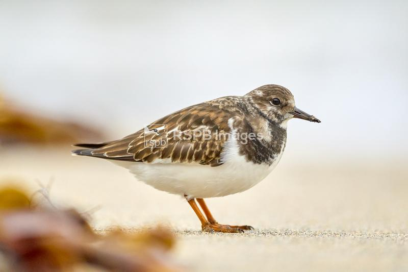 Turnstone Arenaria interpres, adult standing on the beach, Godrevy, Cornwal ...