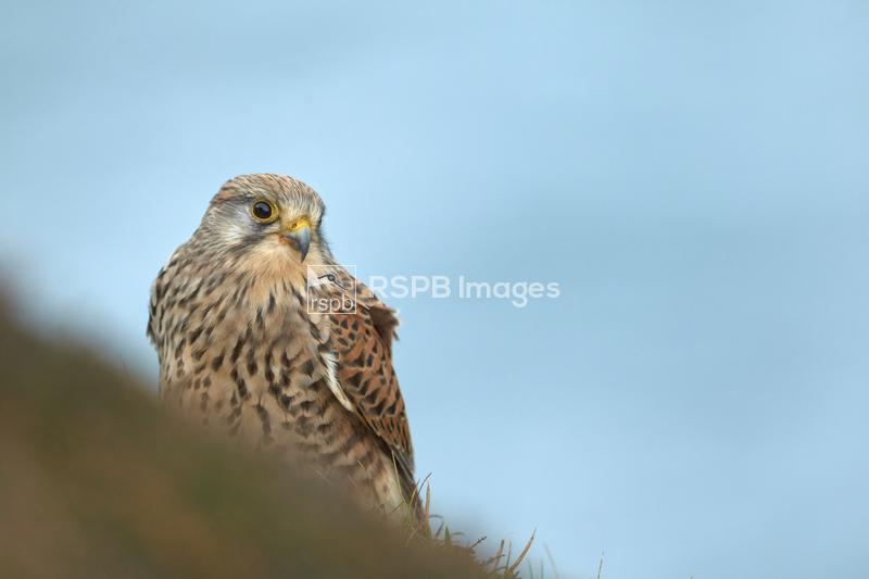 Kestral Falco tinnunculus, adult female perched on cliff edge, Cornwall, Oc ...