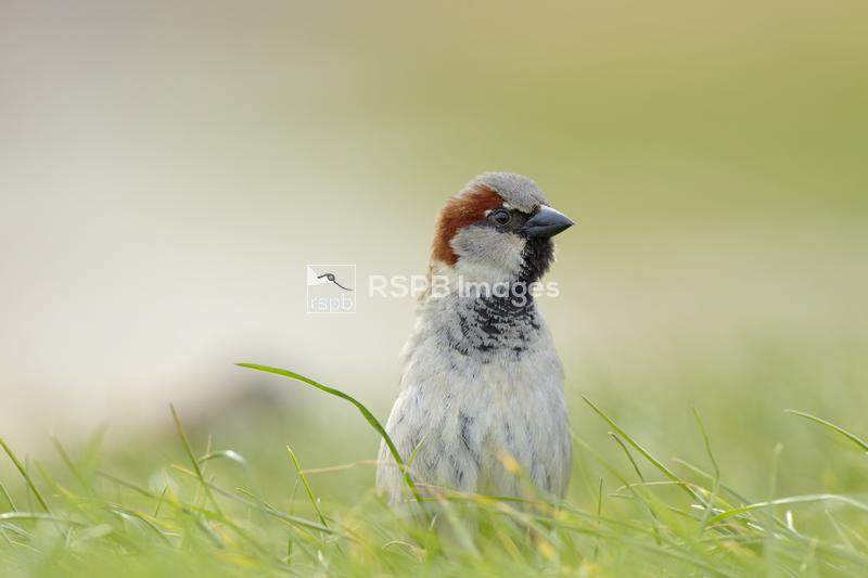 House sparrow Passer domesticus, adult male amongst the grass with an alert ...