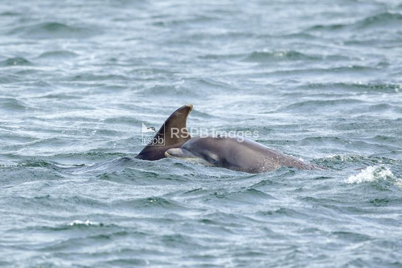 Bottlenose dolphin Tursiops truncatus, mother and calf breaching, Moray Fir ...