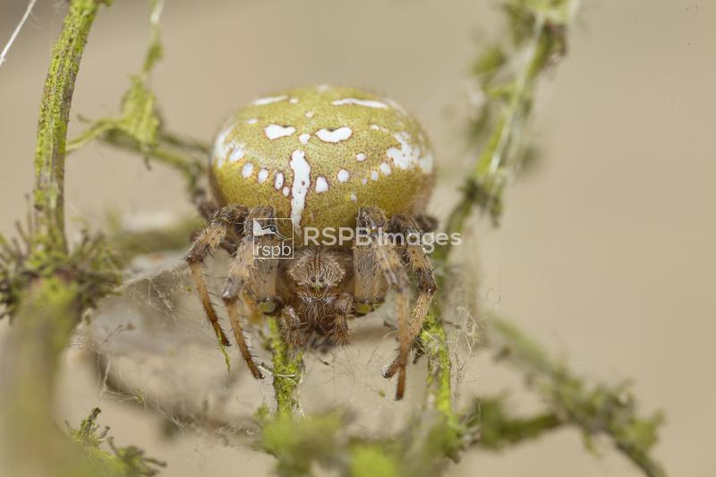 Four spot weaver Araneus quadratus, adult female on web, Worcestershire, Se ...