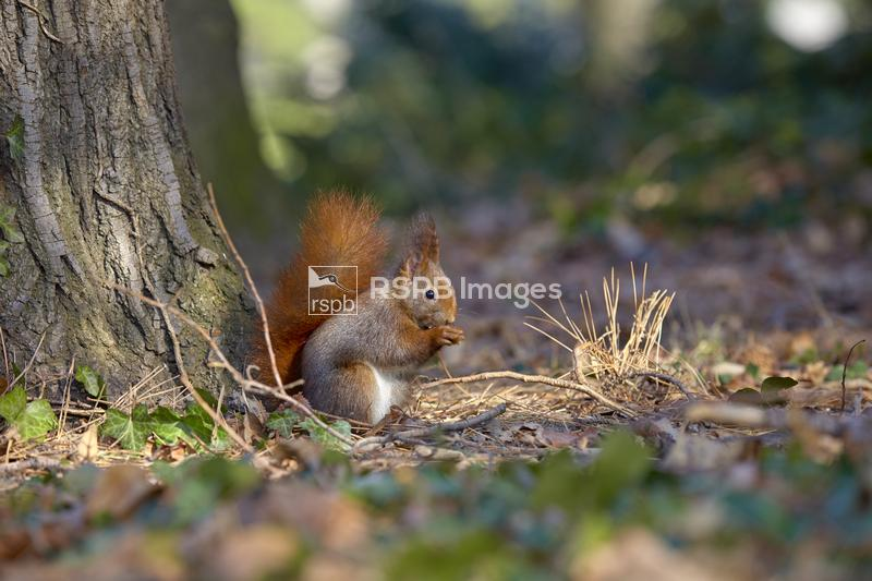 Red squirrel Sciurus vulgaris, adult feeding on a sycamore seed on the fore ...