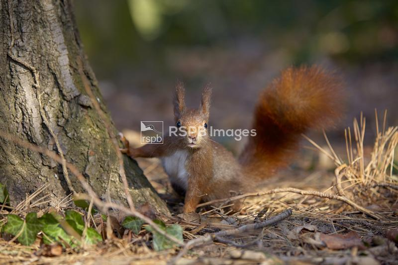 Red squirrel Sciurus vulgaris, adult sniffing the air, Leon, France, Febuar ...
