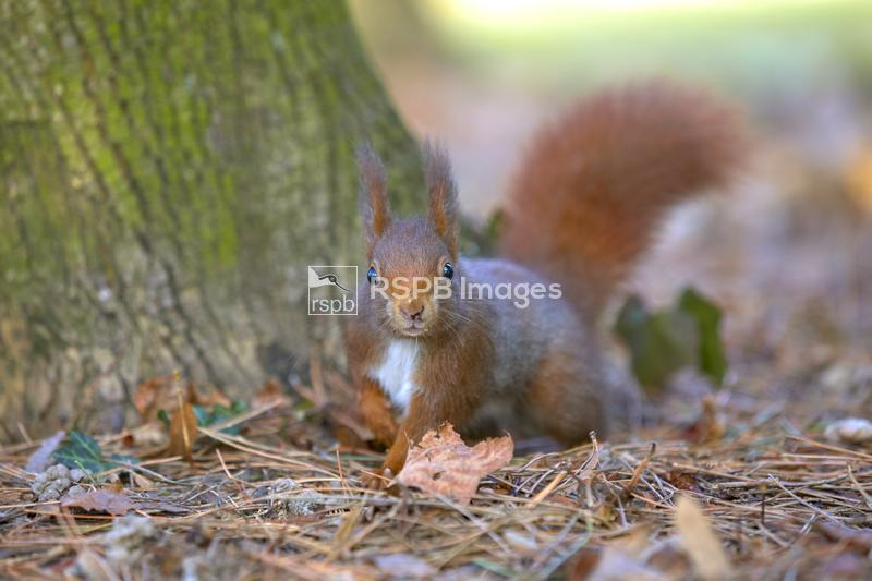 Red squirrel Sciurus vulgaris, adult cautiously exploring, Leon, France, Fe ...