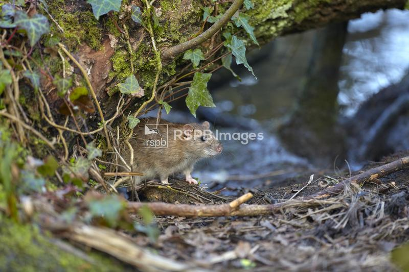 Brown rat Rattus norvegicus, adult emerging from the undergrowth, Cornwall, ...
