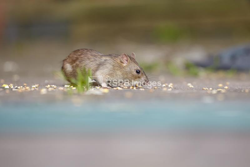 Brown rat Rattus norvegicus, adult feeding on grain under bird feeder, Worc ...