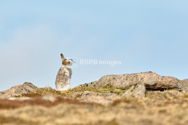 Mountain hare Lepus timidus, adult standing alert on moorland peak, Ben Rin ...