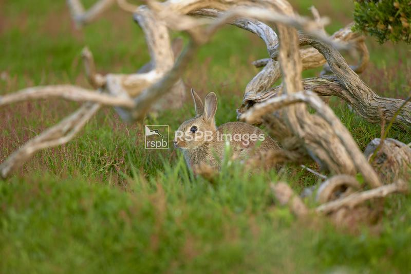 European rabbit Oryctolagus cuniculus, juvenile outside it's burrow, Dorset ...