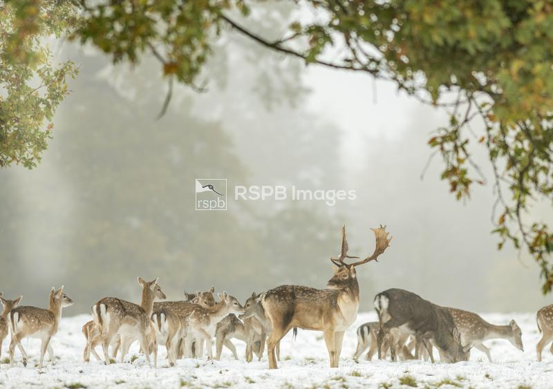 Fallow deer Dama dama, herd with one prominent stag foraging in snowy condi ...