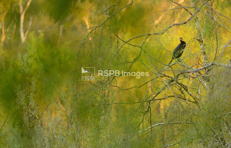 Great cormorant Phalacrocorax carbo, adult perched in tree, Holme Fen Natio ...