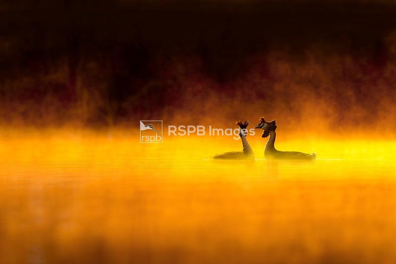 Great Crested Grebes Podiceps cristatus, displaying at dawn, Spring, Cheshi ...