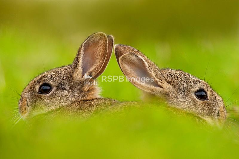 Rabbits Oryctolagus cunuculus, emerging from burrow, Summer, Cheshire ...
